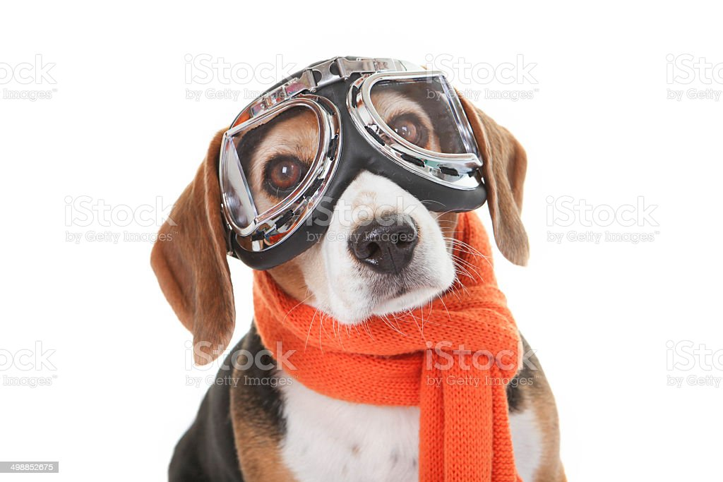 holiday pet concept, dog in flying glasses stock photo