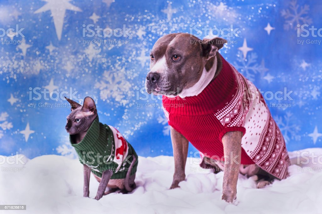 holiday portrait of a pitbull and a sphynx cat in christmas sweaters with blue snow flake