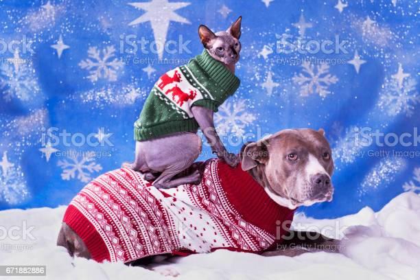 Holiday portrait of a pitbull and a sphynx cat in christmas sweaters picture id671882886?b=1&k=6&m=671882886&s=612x612&h=jufbhnovgpztpuldbkadqn61bqskm1jjlf9fgdxtsqw=