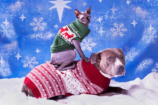 urlaubsporträt eines pitbulls und einer sphynx-katze in weihnachtlichen pullovern mit blauem schneeflockenhintergrund - katze weihnachten stock-fotos und bilder