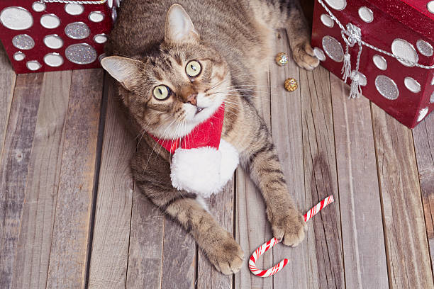 Holiday tabby cat picture id628410610?b=1&k=6&m=628410610&s=612x612&w=0&h=j 7ljk0rgdgwrh5vbs4enjetmabia7ead 6pg eonko=