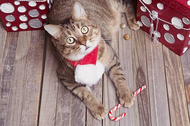 holiday tabby cat - katze weihnachten stock-fotos und bilder