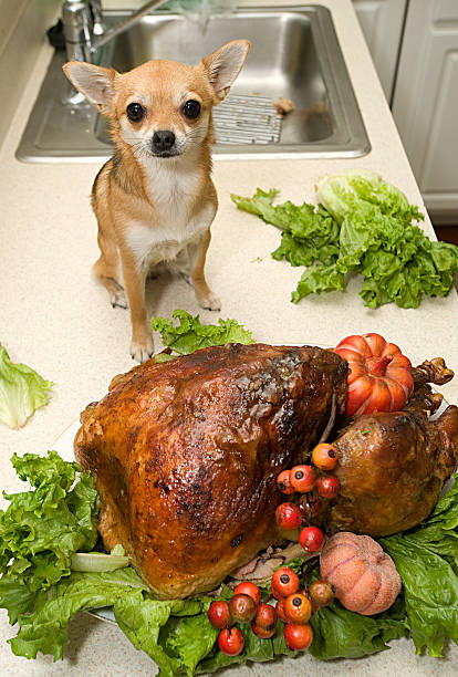 Holiday Turkey and dog  thanksgiving pets stock pictures, royalty-free photos & images