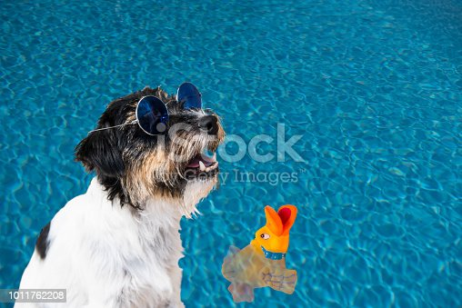 531058808istockphoto Holiday with a dog - Jack Russell Terrier with glasses on the water 1011762208