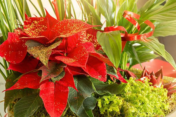 urlaub feier blumen komposition mit weihnachtsstern pflanzen mit golden glitter - sternmoos stock-fotos und bilder