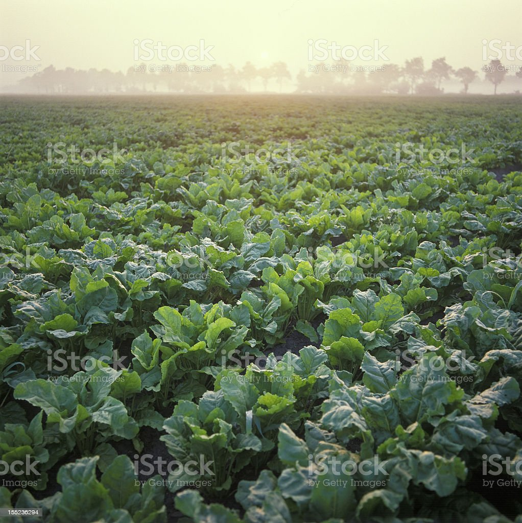 Holland, beet's field at sunrise royalty-free stock photo