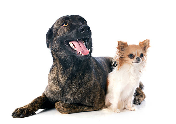 Holland Shepherd and chihuahua stock photo
