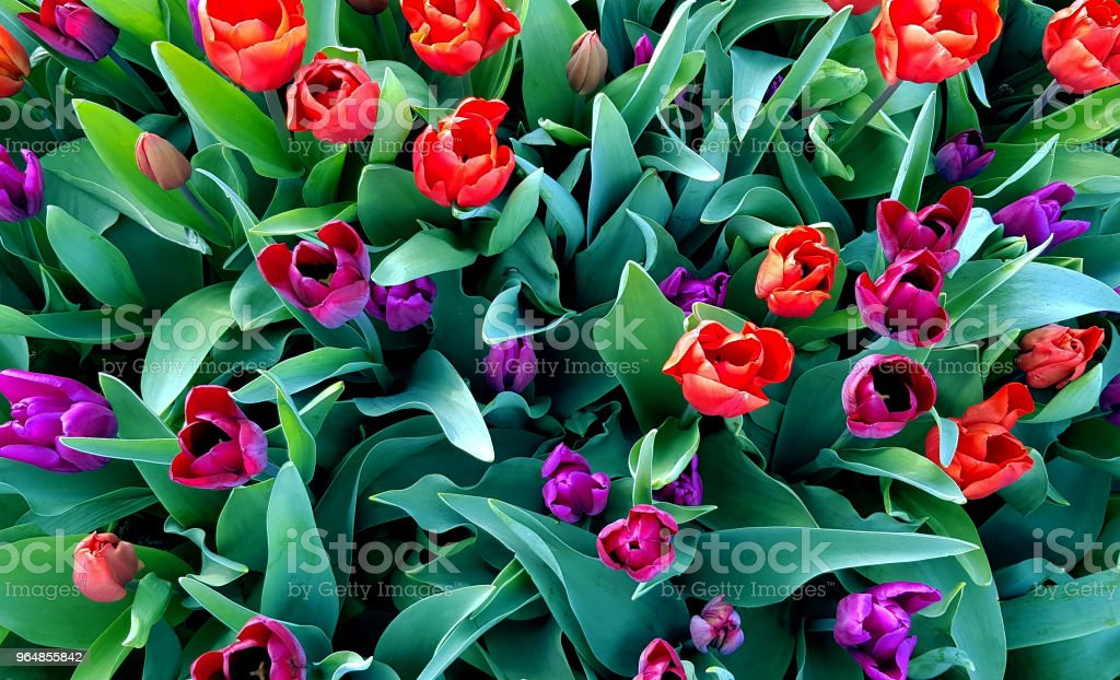 Holland tulips spring flowerbed, violet and red blossoming flowers. royalty-free stock photo