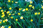 Holland: Wild Yellow Buttercups in Long Green Grass, Full-Frame