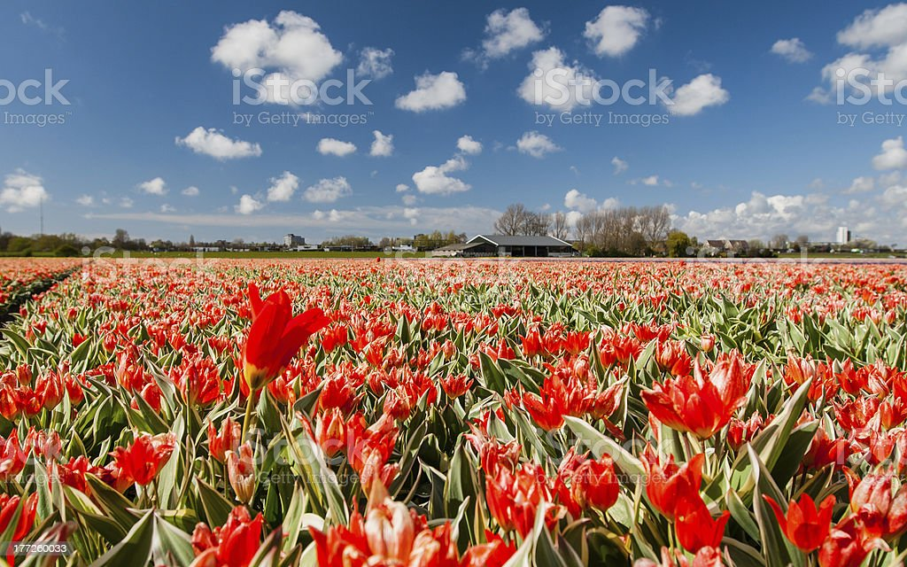 Hollandse Tulips royalty-free stock photo