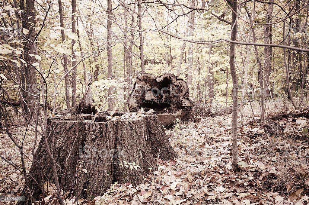 Hollow Fallen Tree and Stump stock photo