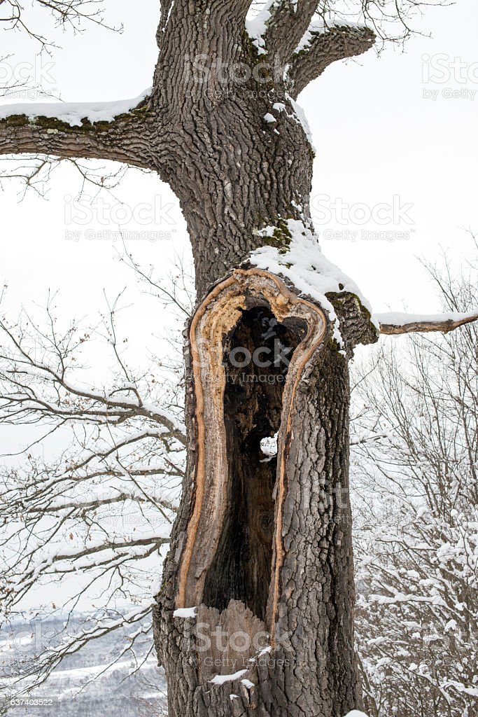 Hollow tree trunk in a winter forest stock photo