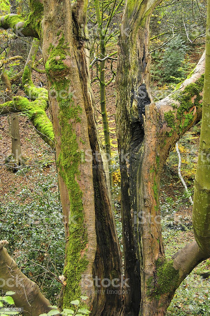 Hollow Tree with Moss Growing on it royalty-free stock photo