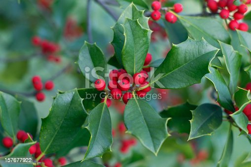 Holly and berries background.