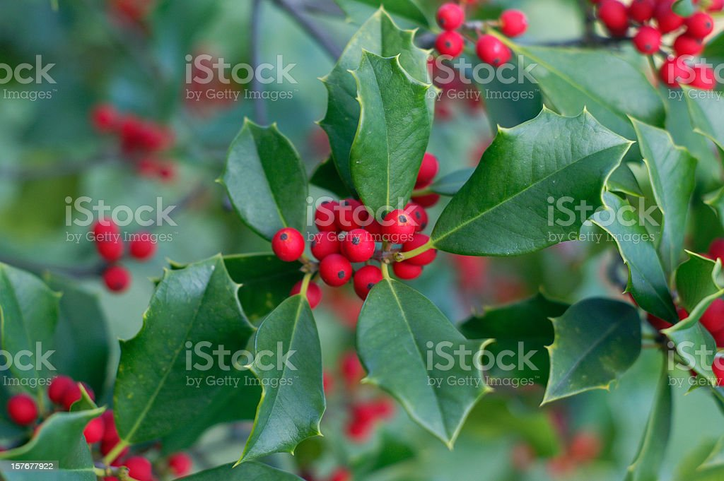 Holly and Berries stock photo