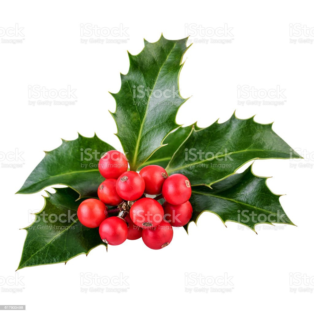 Holly berries and leaves on white in closeup stock photo