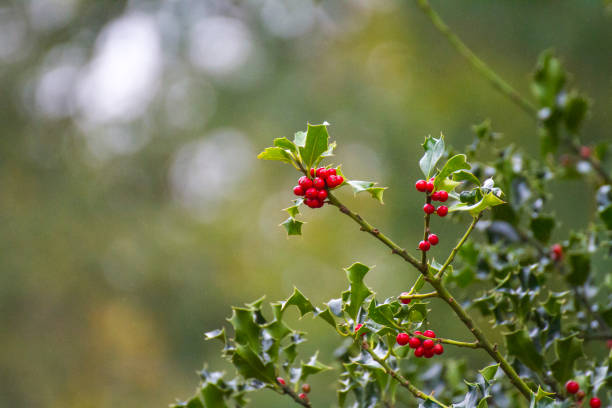 Holly berries and leaves with bokeh forest background stock photo