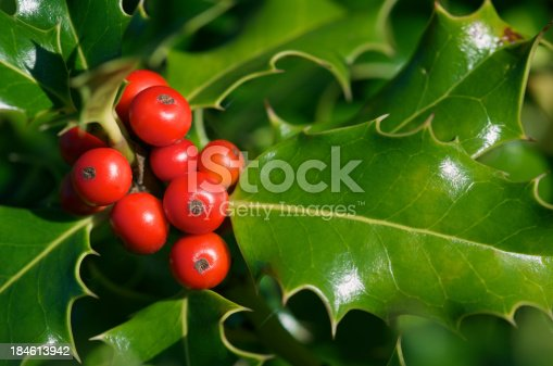 Close up macro shot of bright red holly berries and shiny green leaves