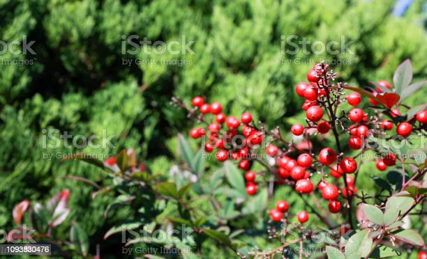 Photo of holly berries in japan or Ardisia Crenata ( Myrsinaceae ) plants small and bright red fruit