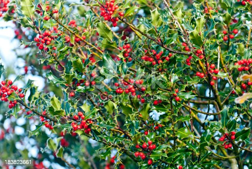 red holly berries in abundance on a holly bush