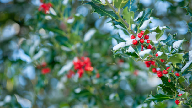 Holly berries with snow covered branches on a bush stock photo
