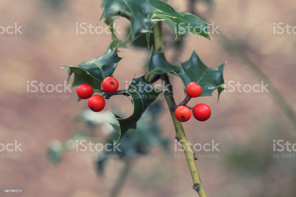 Holly berry stock photo