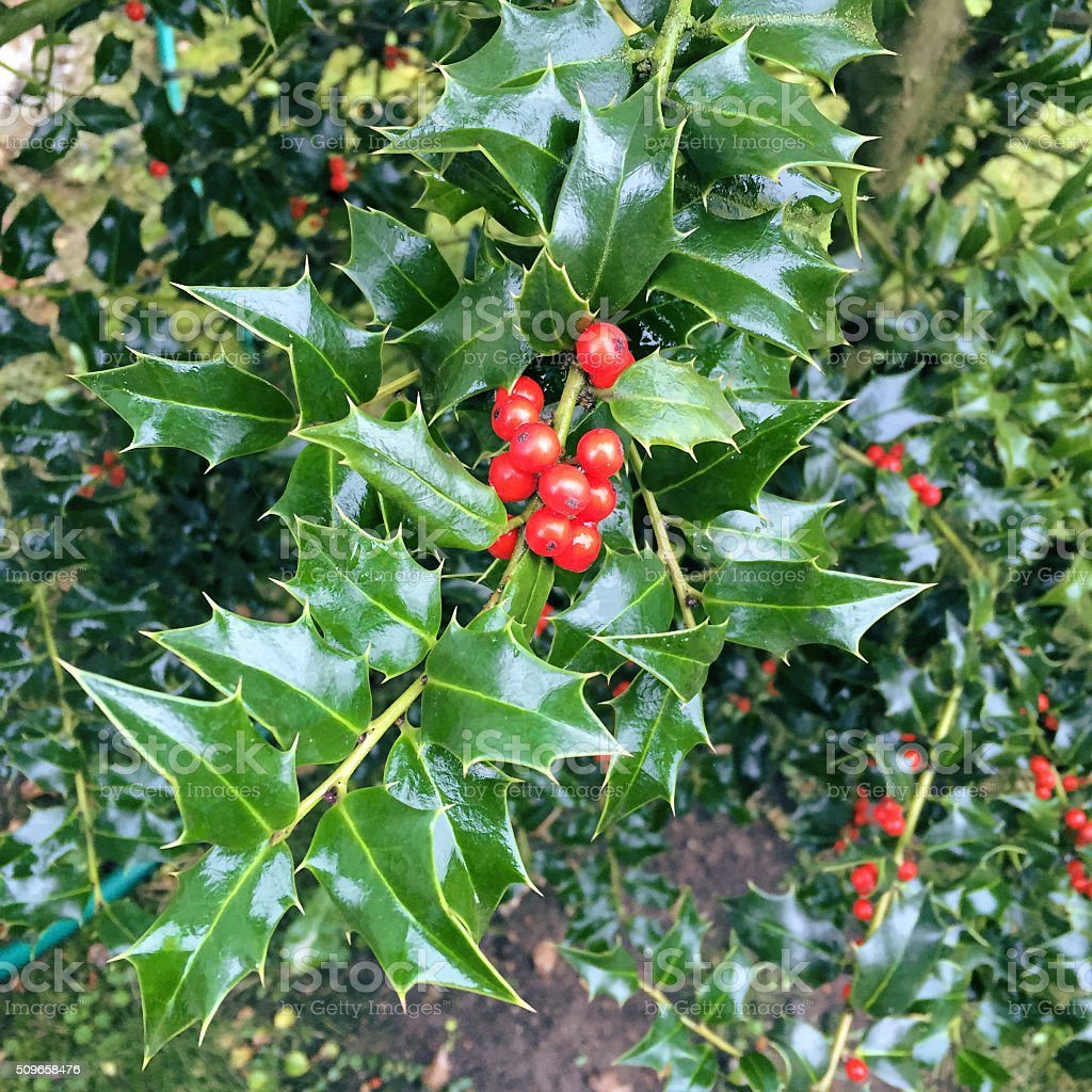 Holly berry tree. Christmas plant. stock photo