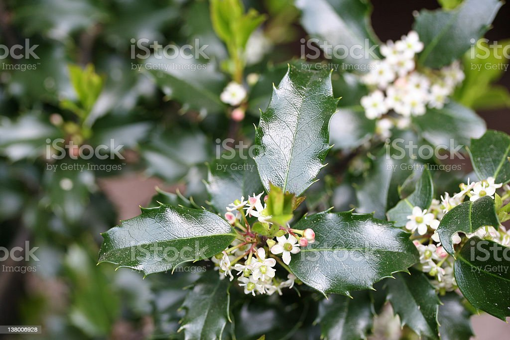 Holly Blossoms royalty-free stock photo