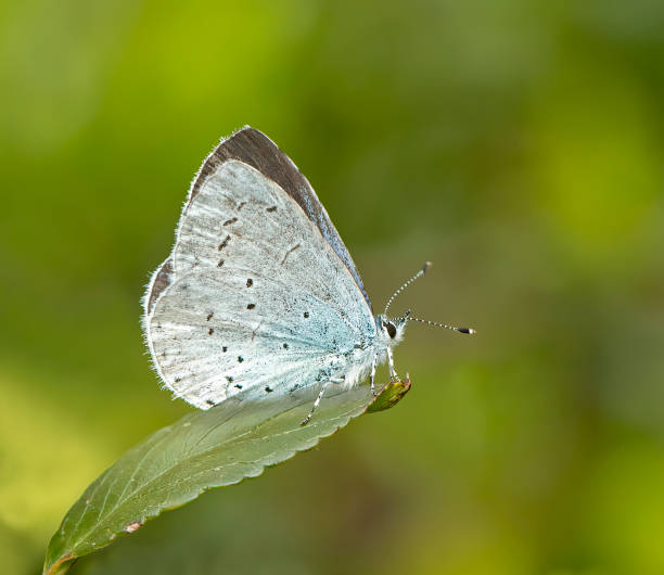 Holly blue butterfly picture id1155871848?b=1&k=6&m=1155871848&s=612x612&w=0&h=q zerz hj70fmke4zvmswb6mibddh7swka1yrlzbvue=