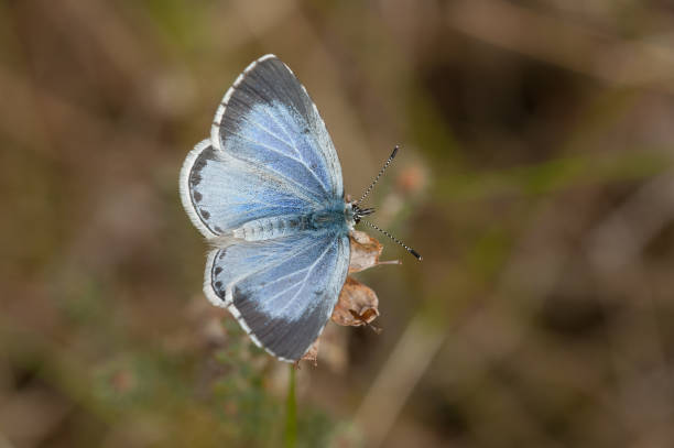 Holly blue stock photo