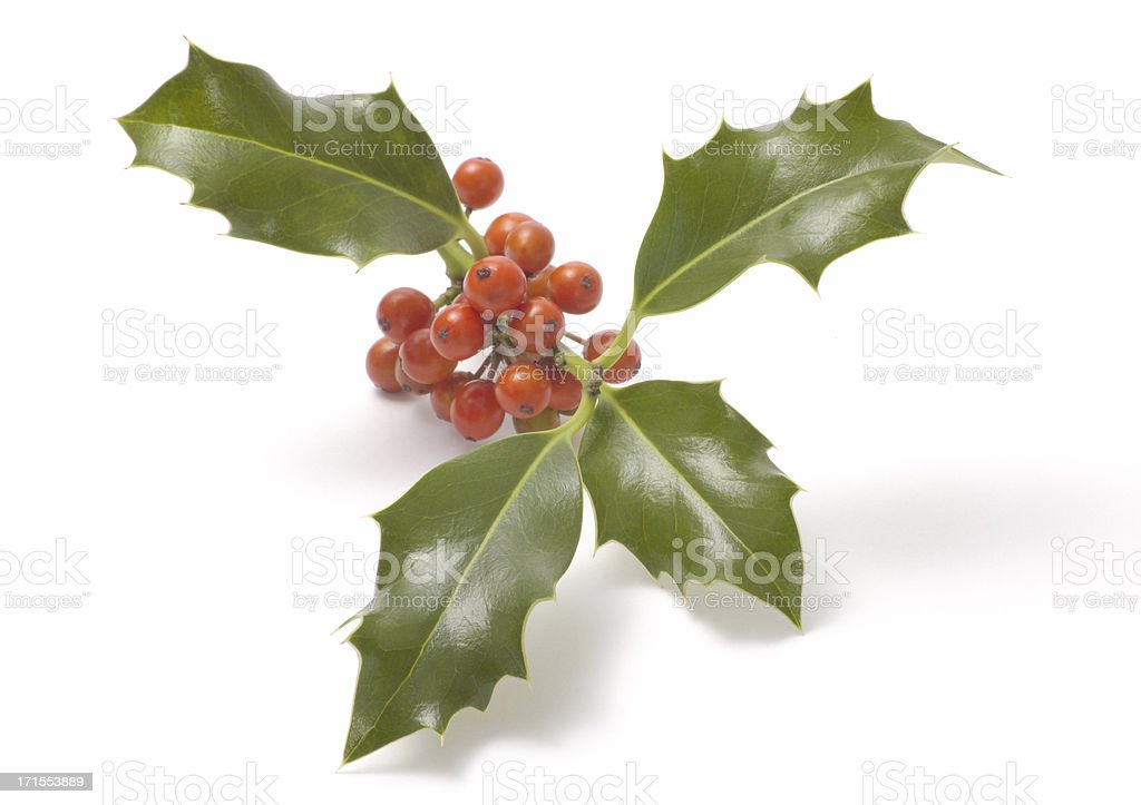 holly branch royalty-free stock photo