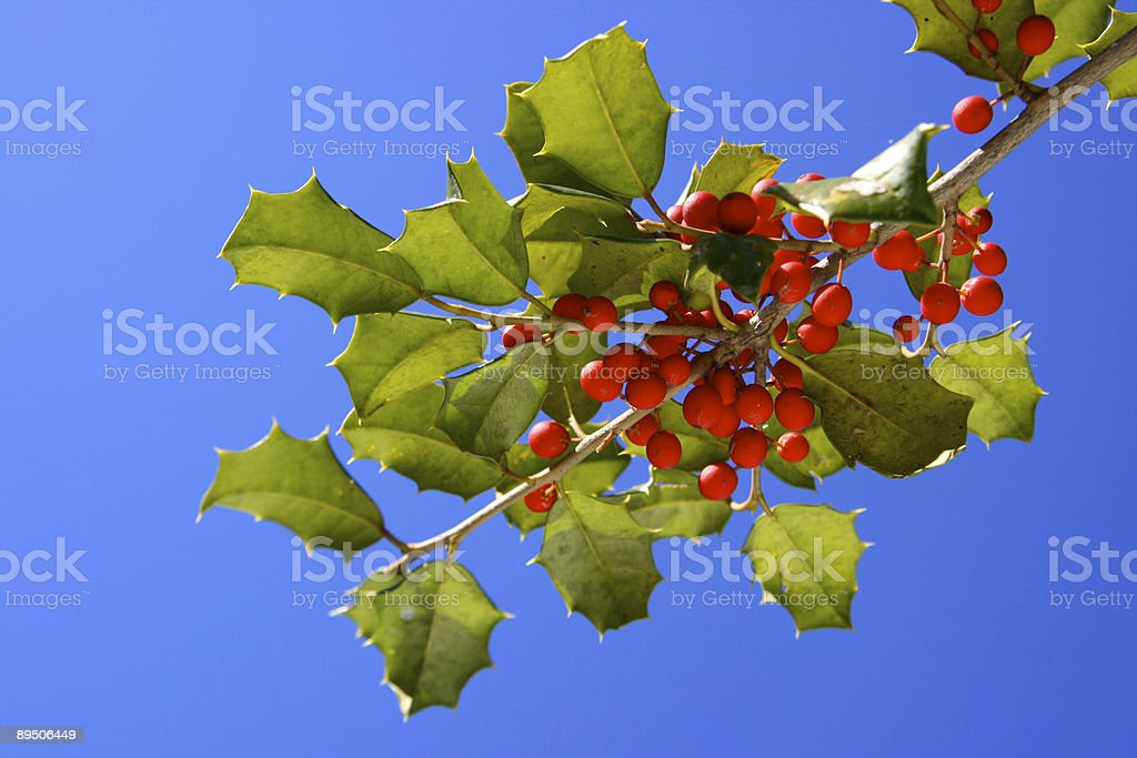 Holly bush and bright berries royalty-free stock photo