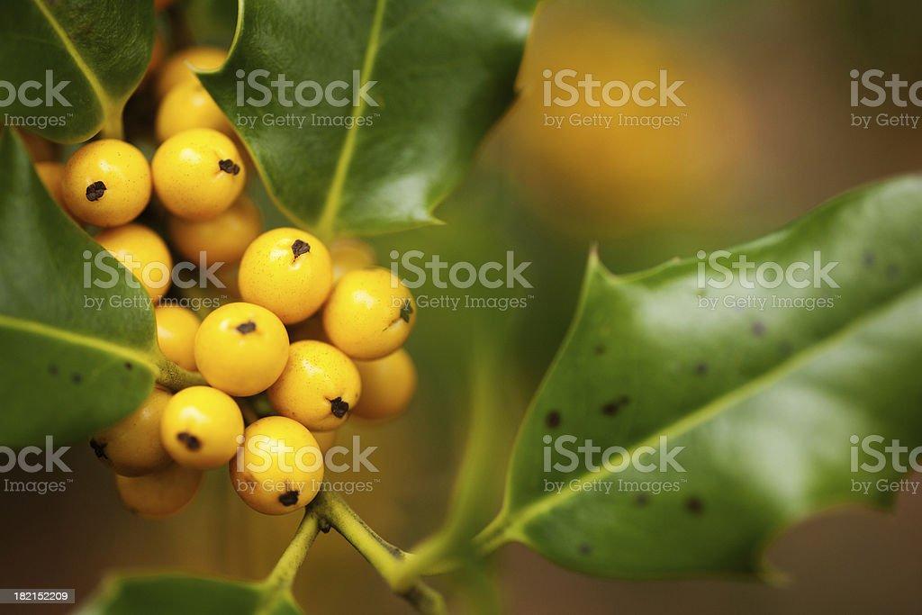 Holly bush stock photo