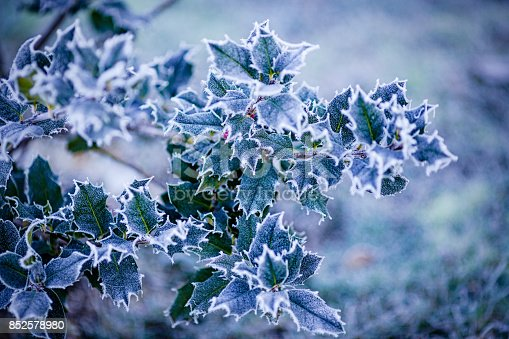 istock Holly covered with frost 852578980