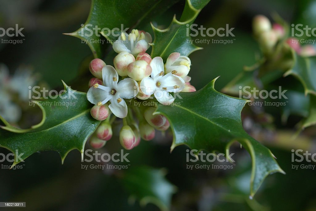 holly flowers and leaves royalty-free stock photo