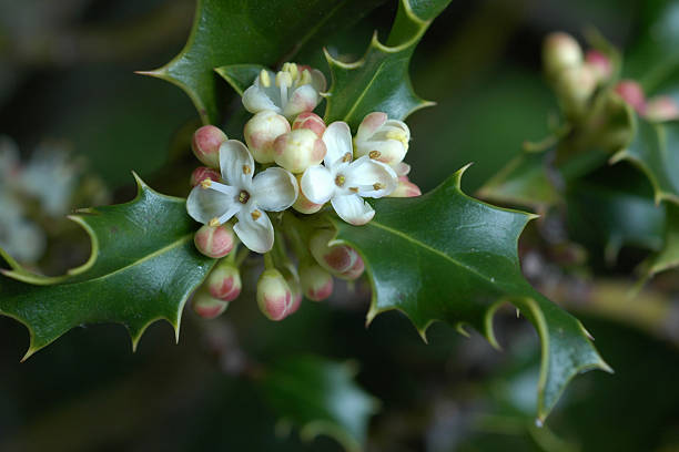 holly flowers and leaves stock photo