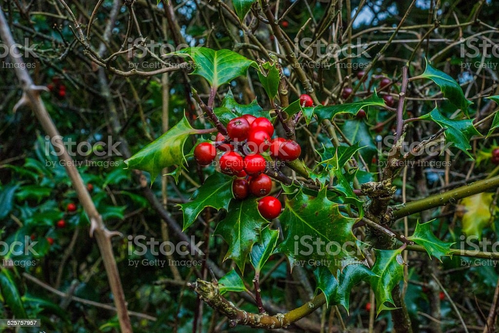 Holly growing in the countryside royalty-free stock photo