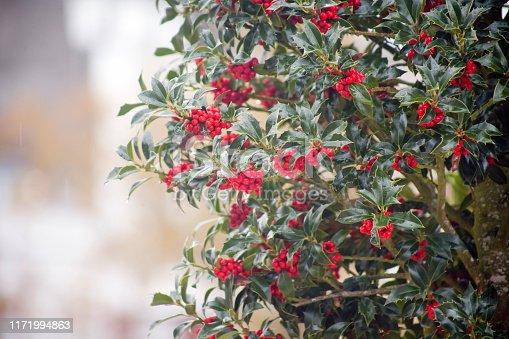 Holly, ilex aquifolium, red berries. Galicia, Spain.