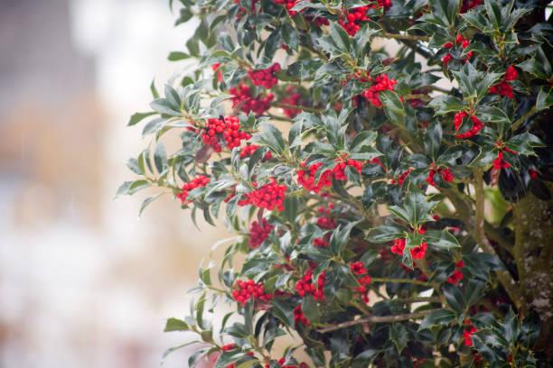 Holly, ilex aquifolium, red berries. stock photo