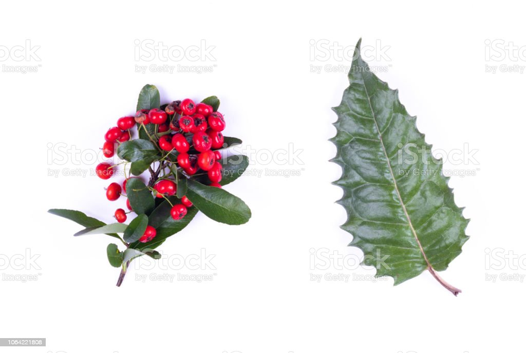 Holly leaf and red berries, isolated on white stock photo
