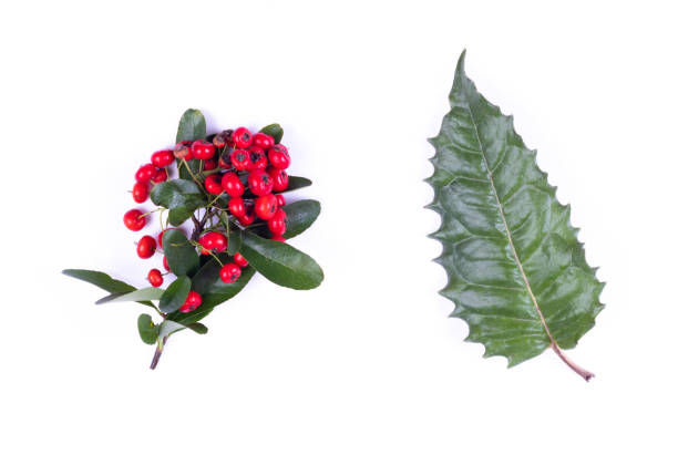 holly leaf and red berries, isolated on white - christmas stock photos and pictures
