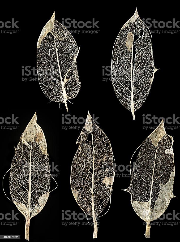 Holly leaf skeletons stock photo