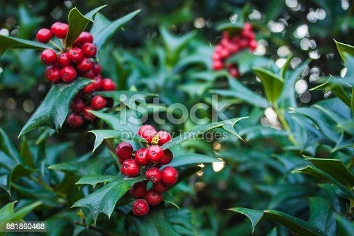 Holly Leaves and Red Berries Bush, Nature View in a Park.