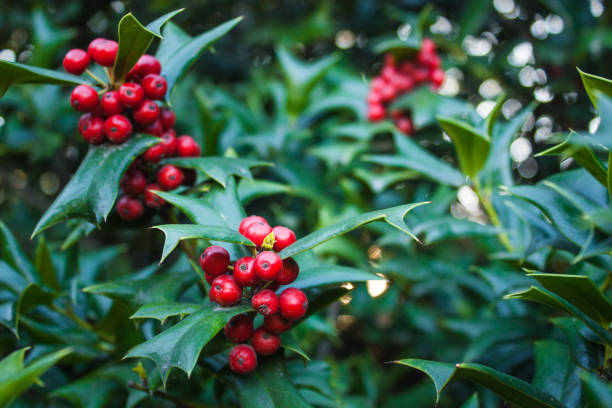 Holly Leaves and Red Berries Bush, Nature View in a Park stock photo