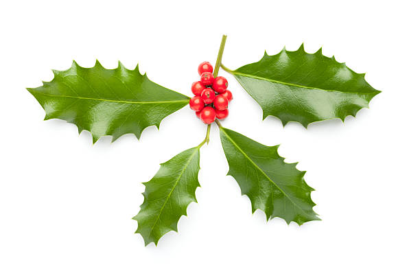 Holly stock photo