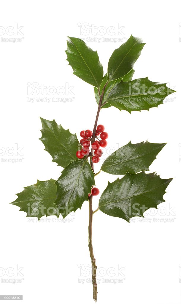 Holly royalty-free stock photo