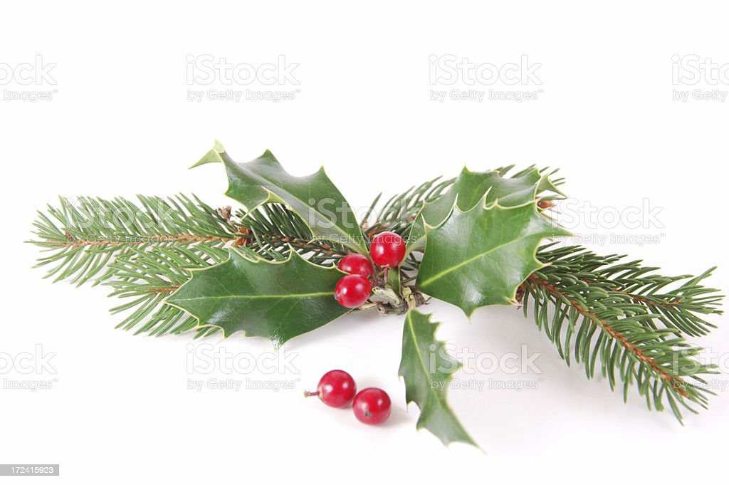 Holly pine royalty-free stock photo