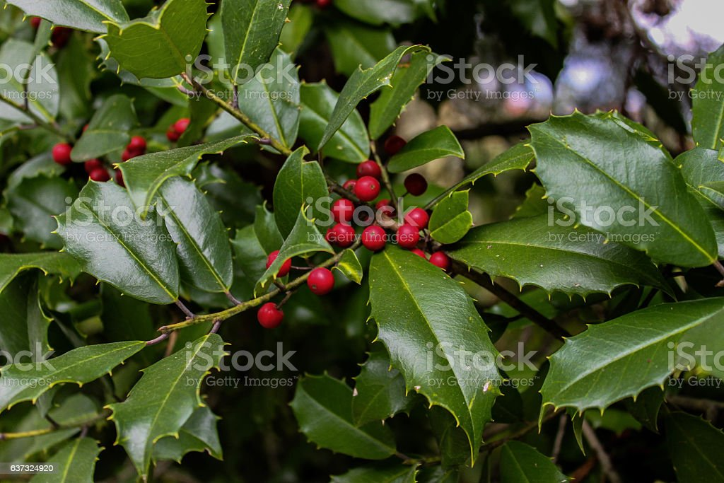 holly plant closeup red berries rare and unusual stock photo