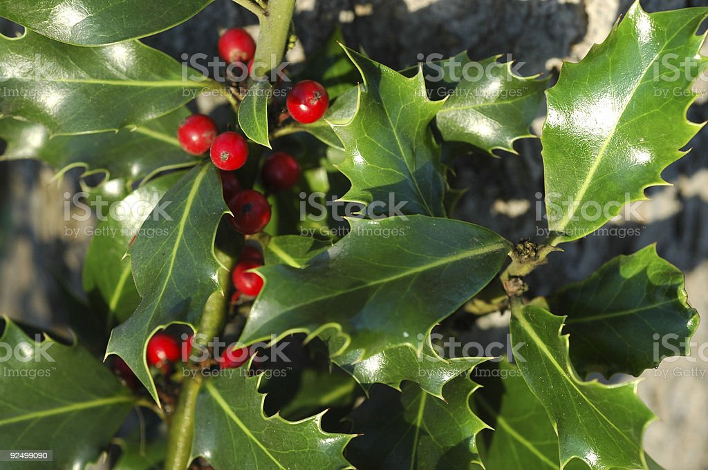 holly plant with red berries stock photo