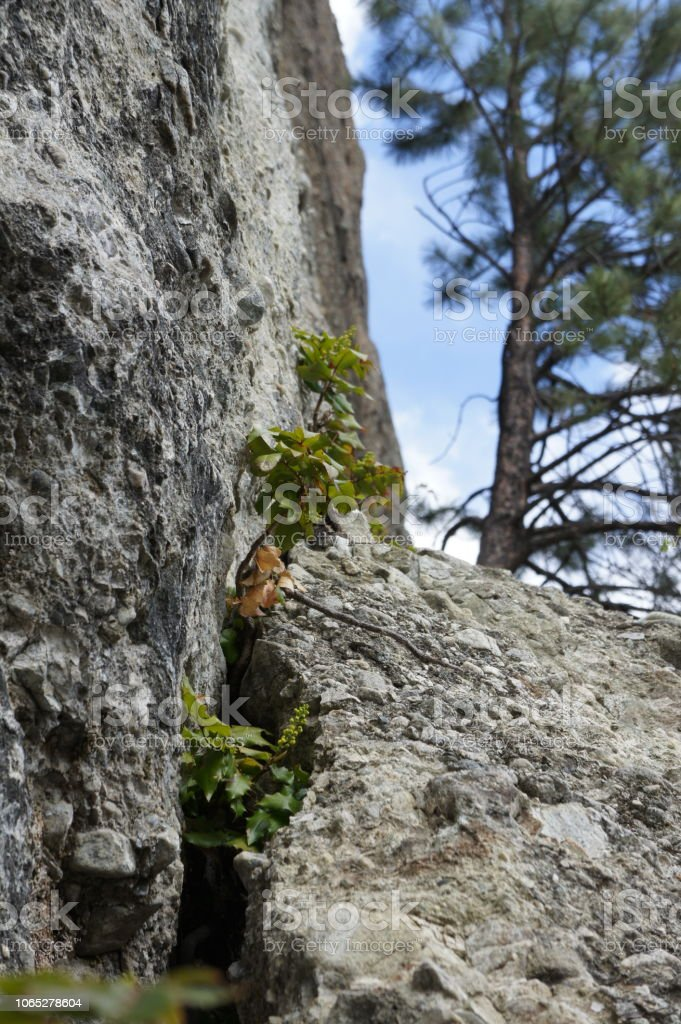 Holly plants growing between rock faces stock photo